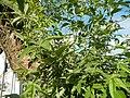 0758jfRoad Pampanga Mexico Pampanga Santo Cristo Lagundi Vitex negundofvf 10.JPG