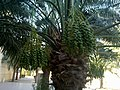 0 dates palm with dates in kuwait by irvin caliicut (12).jpg