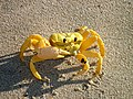 101116 Ghost crab Gnaraloo Bay Rookery.JPG