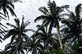 110321 Native forest of Satake palm trees Yonehara Ishigaki Island Japan03s3.jpg