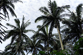 110321 Native forest of Satake palm trees Yonehara Ishigaki Island Japan03s3.jpg