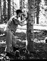 1958. Forest entomologist Paul E. Buffam making population counts of Chermes (Balsam woolly adelgid). Microscope is held by a sling attached to the tree. Willamette Pass, Oregon. (33590098105).jpg