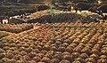 1968-01 1967年 大寨农田收获玉米.jpg