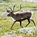 20070818-0001-strolling reindeer-2.jpg