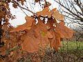20121123Eiche Hockenheim2.jpg