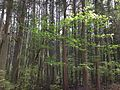 2013-05-10 14 41 37 Thick Atlantic White Cedar swamp along the Cranberry Trail in Brendan T. Byrne State Forest.jpg
