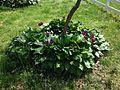 2014-05-10 10 57 45 Hostas and Tulips along Terrace Boulevard in Ewing, New Jersey.JPG