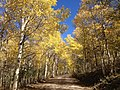 2014-10-04 13 05 13 View of Aspens during autumn leaf coloration along Charleston-Jarbidge Road (Elko County Route 748) in Copper Basin about 7.1 miles north of Charleston, Nevada.jpg