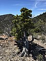 2015-04-28 11 37 08 An older Utah Juniper on the south wall of Maverick Canyon, Nevada.jpg