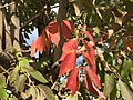 2015-09-26 09 18 32 White Ash with foliage beginning to change color for autumn along Wiley Post Way in Salt Lake City, Utah.jpg