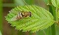 2015.05.24.-07-Buchklingen--Gemeine Garten-Schwebfliege-Weibchen.jpg