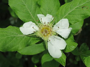 Mespilus germanica - Open flower