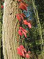 20161002Parthenocissus quinquefolia10.jpg