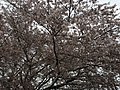 2017-04-03 15 40 06 White Flowering Cherry flowers along Scotsmore Way near Caroline Court in the Chantilly Highlands section of Oak Hill, Fairfax County, Virginia.jpg