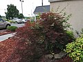 2017-06-13 08 04 07 Red Laceleaf Japanese Maple reverting to standard green by way of suckers beneath the graft point along Bristol East Road in Bristol, Virginia.jpg
