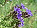 20170605Anchusa officinalis4.jpg