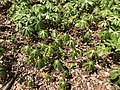2019-04-10 12 29 08 Mayapples growing along a walking path in the Franklin Glen section of Chantilly, Fairfax County, Virginia.jpg