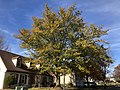 2019-11-26 11 37 53 A Water Oak turning yellow in late autumn along White Barn Lane in the Franklin Farm section of Oak Hill, Fairfax County, Virginia.jpg