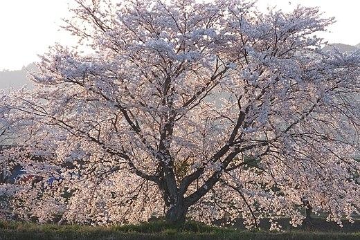 Cherry Blossom Wikiwand