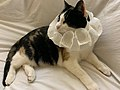 2020-07-21 22 39 22 A Calico cat lying on a couch with a paper necklace in the Franklin Farm section of Oak Hill, Fairfax County, Virginia.jpg