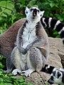 50 Jahre Knie's Kinderzoo Rapperswil - Lemur catta 2012-10-03 15-29-34.JPG
