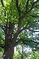 80-382-5010 Suvorova Oak SAM 1438.jpg