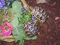 8 month old male & female Tunisian Spur Thighed Tortoises.jpg
