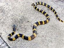Striped king snake