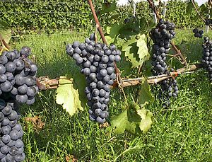 Greek wine - Agiorgitiko grapes
