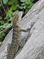 AU-Qld-Kalinga-Park-lizard-water dragon-2021.jpg