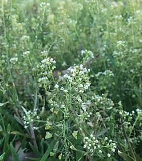 <i>Capsella bursa-pastoris</i> Species of flowering plant in the mustard family, Brassicaceae