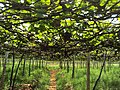A Grape Field At Cumbum Tamil Nadu, India.JPG