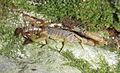 A Mesobuthus gibbosus feeding on Euscorpius avcii - ZooKeys-219-063-g010.jpeg