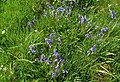 A Patch Of Bluebells - geograph.org.uk - 1463300.jpg
