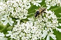 A bee gathers pollen on a Heracleum sphondylium (29311522665).jpg