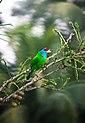 A blue-throated barbet.jpg