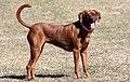 A female redbone-coonhound-1.jpg