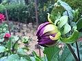 A flower in the Rose garden in Munnar 04.jpg