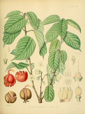 Stemonoporus - Stemonoporus affinis