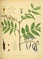 A hand-book to the flora of Ceylon (Plate XXX) (6430642519).jpg