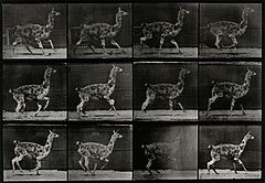 A llama walking. Photogravure after Eadweard Muybridge, 1887 Wellcome V0048779.jpg