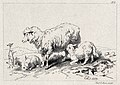 A sheep with two lambs on a meadow. Etching by C. G. Lewis a Wellcome V0020832.jpg