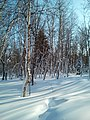 A winter forest in the North-West of Sakhalin. 6.jpg