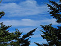 Abies fraseri branches.jpg