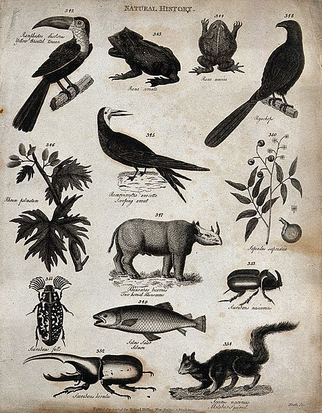 File:Above, a toucan, two frogs, a bird, an avocet, two sprigs of Wellcome V0020674ER.jpg