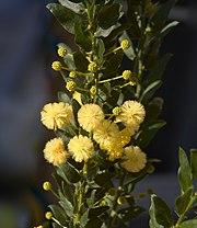 Acacia armata C.jpg