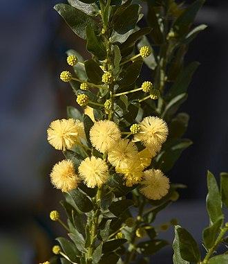 Acacia paradoxa - Image: Acacia armata C