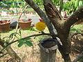 Acacia catechu - കരിങ്ങാലി 02.JPG