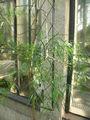 Acacia leprosa2.jpg