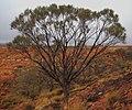 Acacia macdonnellensis subsp. teretifolia.jpg